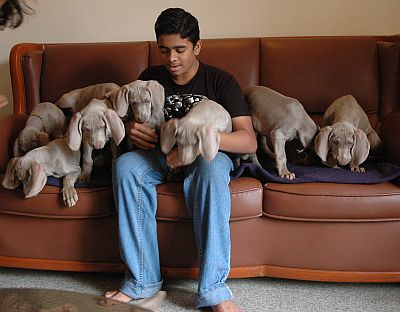 Weimaraner Puppies on Very Good Quality Weimaraner Puppies  Home Raised  Very Well Cared For