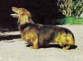 Dachshund (Long Haired)-DI.jpg (9920 bytes)
