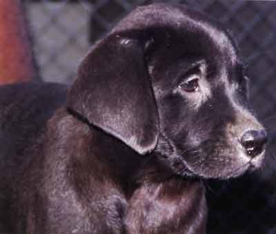 Black Labrador Puppies For Sale Wakefield Images