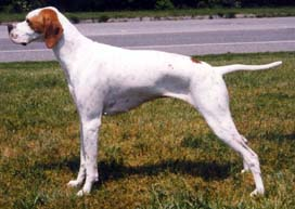 English Pointer-Taumtonbay.jpg (12635 bytes)
