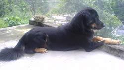 Himalayan Sheep Dog