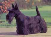 Scottish Terrier-DI.jpg (8761 bytes)