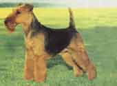 Welsh Terrier-DI.jpg (8895 bytes)