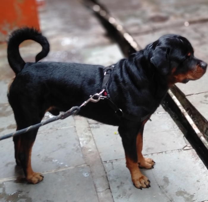DogsIndia.com - Rottweiler for Adoption (Sanjay)