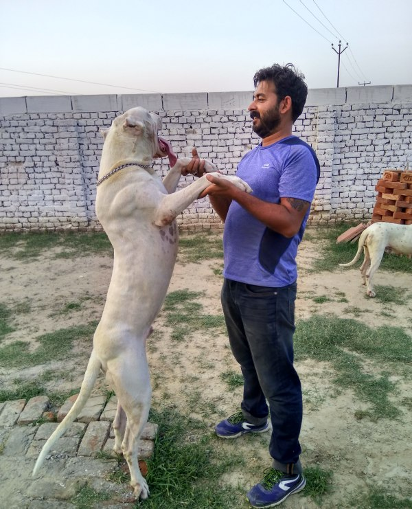 DogsIndia.com - Grown-Up Dogo Argentino - Aatif