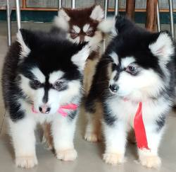 DogsIndia.com - Alaskan Malamute - Short Faced Wolves Kennel - Rahul