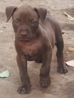 DogsIndia.com - American Pit Bull Terrier - Prince Mohan