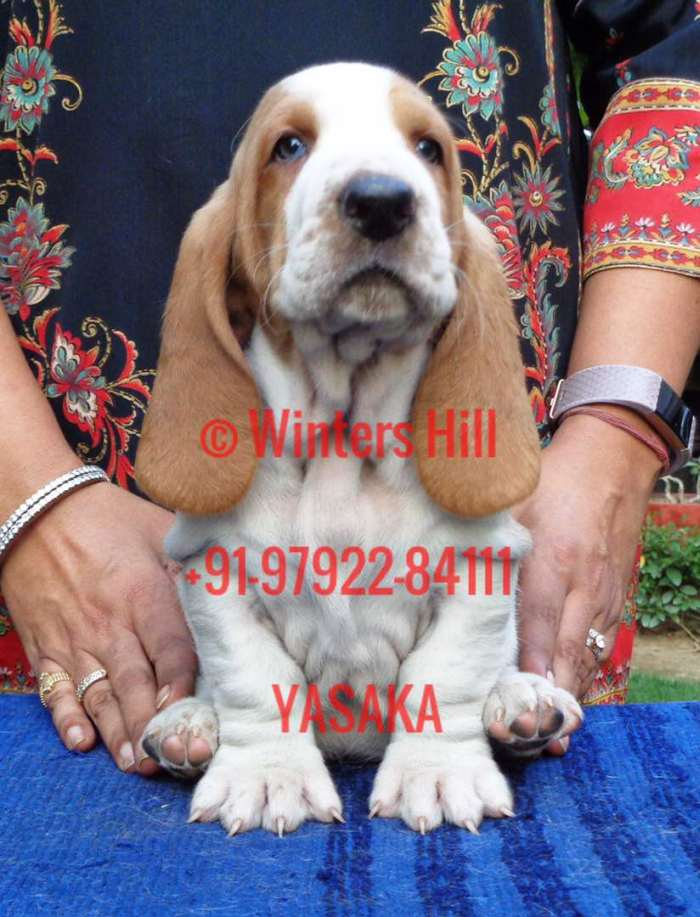 DogsIndia.com - Basset Hound - Winters Hill Kennel
