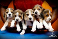 DogsIndia.com - Beagle - Candle Lights Kennel