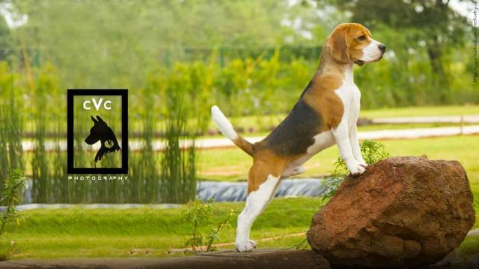 DogsIndia.com - Beagle Available at Stud at Mumbai - Dr. Ravi