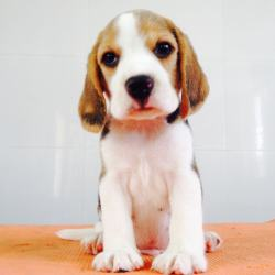 DogsIndia.com - Beagle - Sanrams Kennel