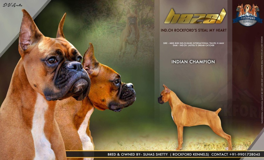 DogsIndia.com - Boxer - Rockford Kennels - Suhas