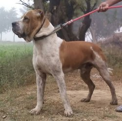 DogsIndia.com - Indian Mastiff OR Bulli Kutha - Atul Tiwari