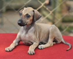 Caravan Hound Puppies, Top of the Line, Show Quality Available For Sale To Show & Family Homes