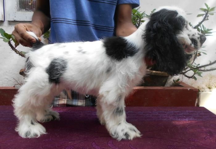 DogsIndia.com - English Cocker Spaniel - Goldflakes Kennel