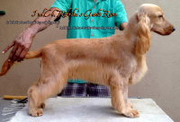 DogsIndia.com - English Cocker Spaniel - Rabrika Cockers