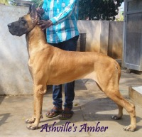 DogsIndia.com - Great Dane - Ashville Kennels