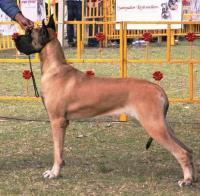DogsIndia.com - Great Dane - Balken Kennels