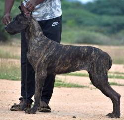 DogsIndia.com - Great Dane - Balken Kennel