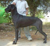 DogsIndia.com - Great Dane - Manikandan