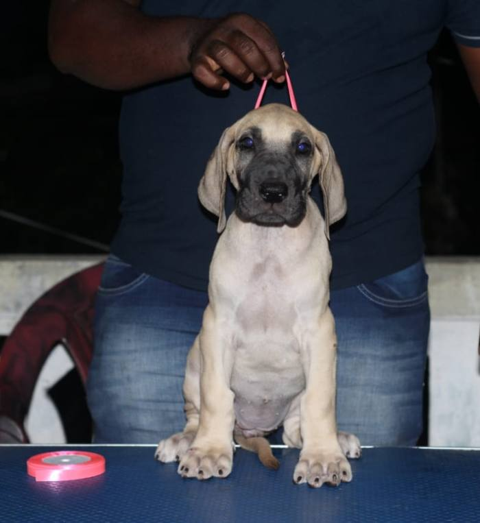 DogsIndia.com - Great Dane - Nattu Dev
