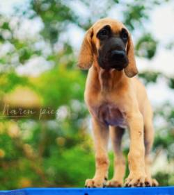 DogsIndia.com - Great Dane - Rajan - Sunflames Kennel