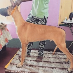DogsIndia.com - Great Dane - Subrata