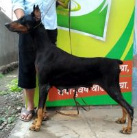 DogsIndia.com - Dobermann - Abhijeet - Black Fire Kennel