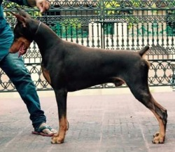 DogsIndia.com - Dobermann - Faith Hill's Kennel - Dr. Sujith