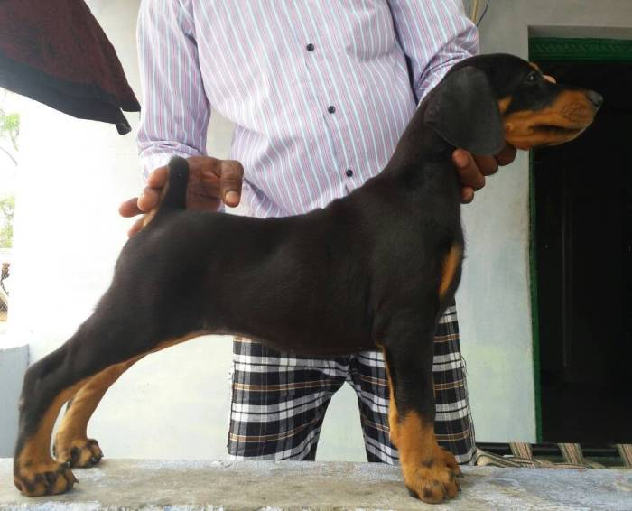 DogsIndia.com - Dobermann Pinscher - Johnson