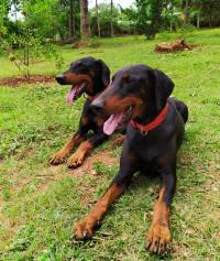 DogsIndia.com - Dobermann - Sumanth
