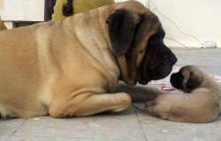 DogsIndia.com - English Mastiff - Devraj, Masked Giant Kennel