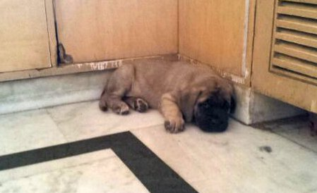 DogsIndia.com - English Mastiff - Devraj