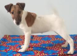 DogsIndia.com - Fox Terrier Smooth - Laxman