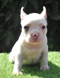 DogsIndia.com - French Bulldog - Derick (Shade's)