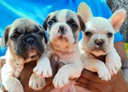 DogsIndia.com - French Bulldog - Derick - Shade's