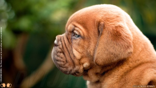 DogsIndia.com - French Mastiff - Dvijatman Kennels