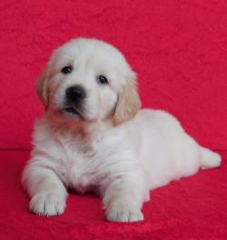 DogsIndia.com - Golden Retriever - Adchans