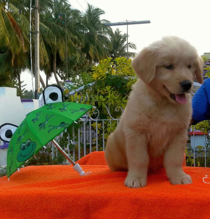 DogsIndia.com - Golden Retriever - Apple Kennels