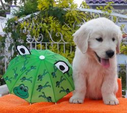 DogsIndia.com - Golden Retriever - Apple Kennel