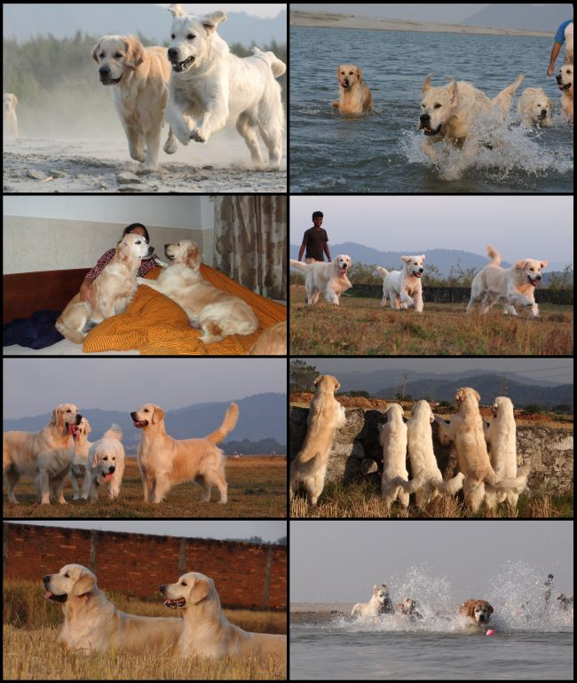 DogsIndia.com - Golden Retriever