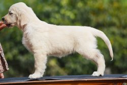 DogsIndia.com - Golden Retriever - Bessie's Kennel