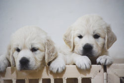 DogsIndia.com - Golden Retriever - Bessies Kennel
