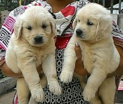 DogsIndia.com - Golden Retriever - Dalvi