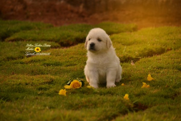 DogsIndia.com - Golden Retrievers - Girish, Mathsa