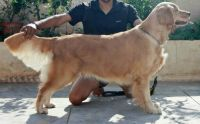DogsIndia.com - Golden Retriever - Girish