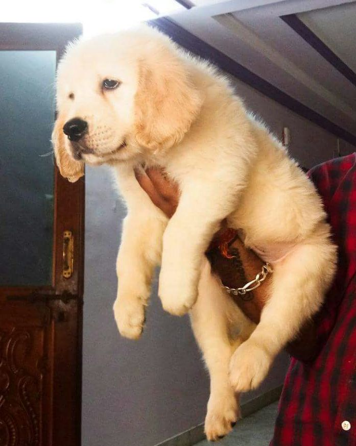 DogsIndia.com - Golden Retriever - Goldhead
