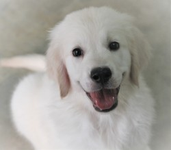 DogsIndia.com - Golden Retriever - Happy Minds - Abhijit