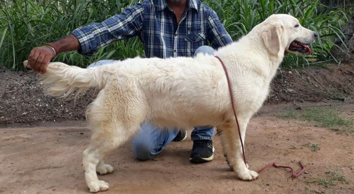 DogsIndia.com - Golden Retriever - Mieux Kennel - Sunil Kumar