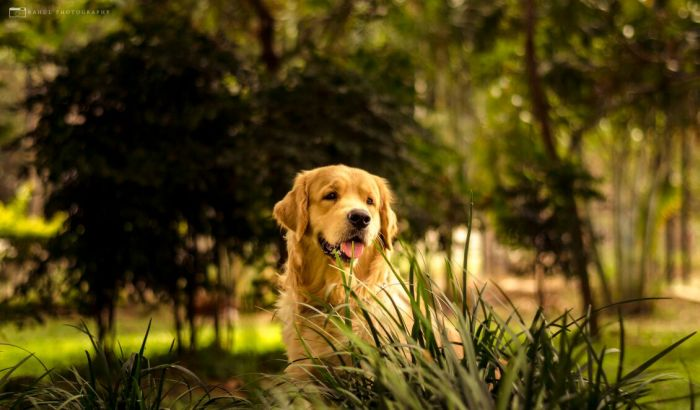 DogsIndia.com - Golden Retriever - Hayesberg Retrievers